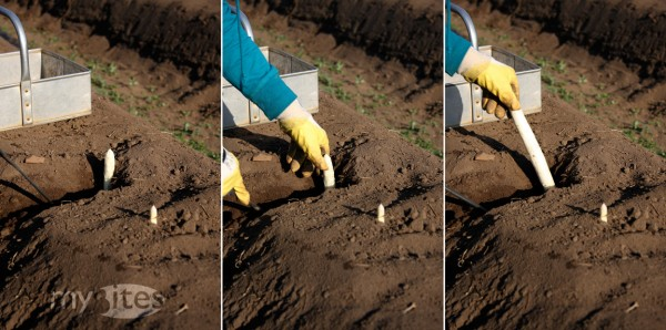 Three Steps of Picking White Asparagus