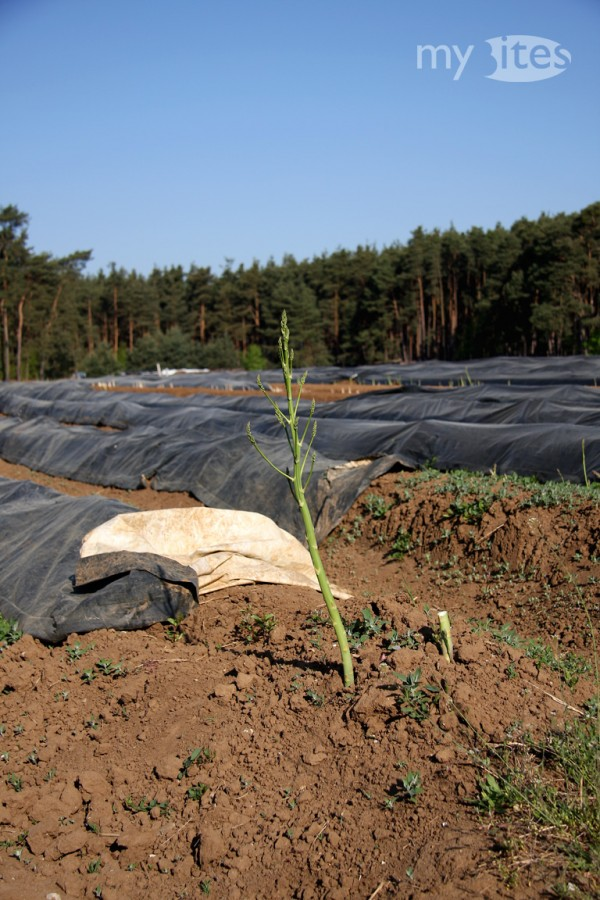 Asparagus in its Developing Phase